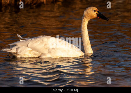 Tundra Swan (Cygnus columbianus) looking for food while swimming in Potter Marsh, Anchorage, Alaska - Stock Photo