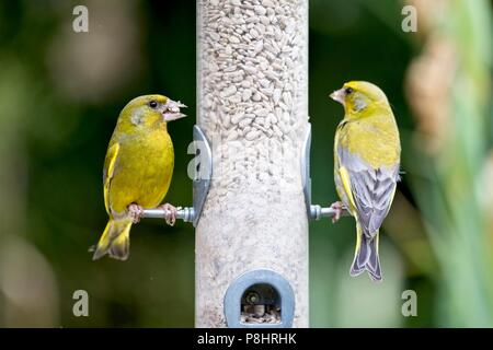 Greenfinches (Carduelis chloris) eating sunflower hearts from a bird feeder, East Sussex, UK - Stock Photo