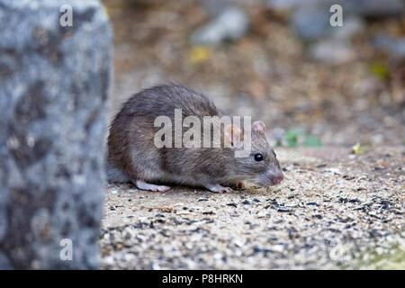 Brown rat (Rattus norvegicus) also known as a Common rat, East Sussex, UK - Stock Photo