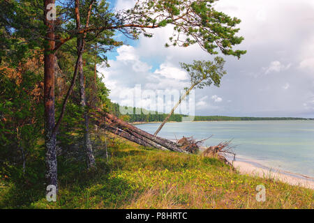Broken pine storm in the dunes of the Baltic Sea island of Hiiumaa on a summer day - Stock Photo
