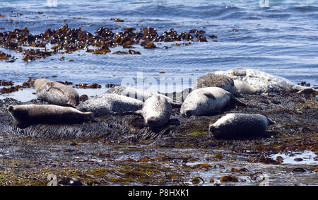 Harbour seals also known as common seals (Phoca vitulina) relaxing on rocks at low tide. Rathlin Island, Antrim, Northern Ireland. - Stock Photo