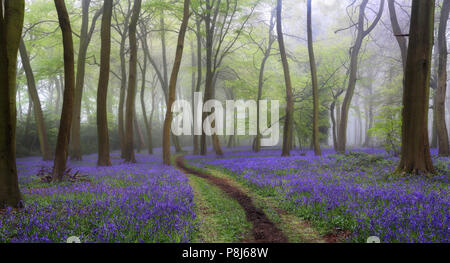 Spring Bluebell Woodlands in the The Chilterns, Oxfordshire - Stock Photo