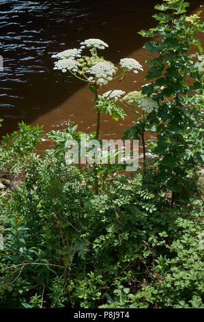 Giant hogweed (Heracleum mantegazzianum) an invasive plant dangerous to humans, on the river bank of Clyde, Glasgow. - Stock Photo