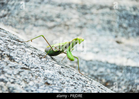 Closeup mantis stands on a rock - Stock Photo