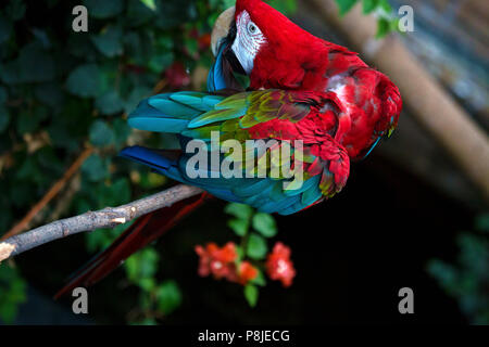 A green-winged parrot sits on a branch preening himself. The bird lives in the aviary of a zoo. - Stock Photo