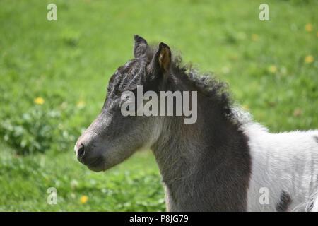 Beautiful blue eyed miniature horse foal in a grass field. - Stock Photo