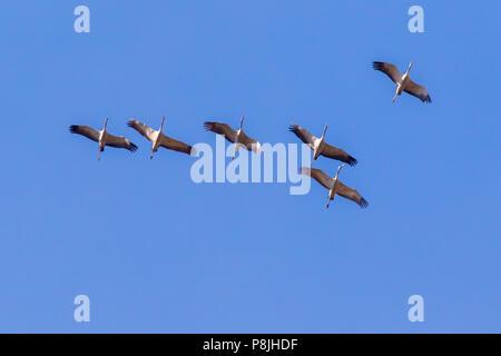 Common cranes into the flight over Homburg - Stock Photo