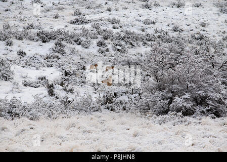 Adult female Patagonian puma sitting on a snow covered hill with 2 of her cubs standing close by. - Stock Photo