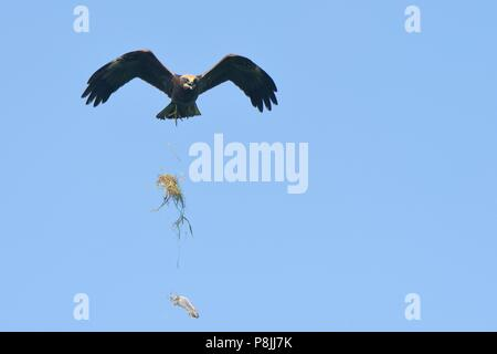 First winter Marsh harrier in flight drops just caught vole in the air - Stock Photo