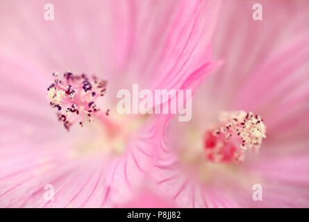 Detail of the blooming pink flower of  Musk Mallow - Stock Photo