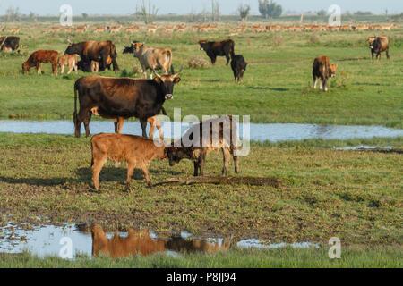 Heck cattle and red deer in the Oostvaardersplassen - Stock Photo