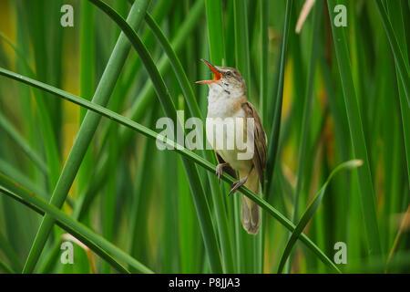 singing Great Reedwarbler in reed - Stock Photo