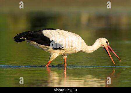 Feeding White Stork in marsh - Stock Photo