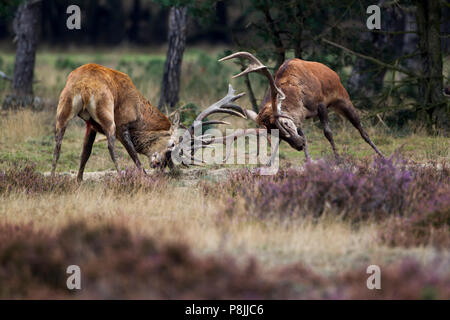 fighting Red deer stags during the rut - Stock Photo