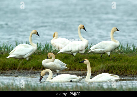 Resting Tundra Swans on tundra lake - Stock Photo