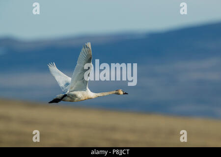 flying Tundra Swan over tundra - Stock Photo