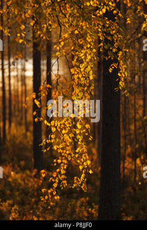 yellow birch in autumn colors - Stock Photo
