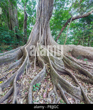 Kapok Tree (Ceiba pentandra) with buttress roots in the rainforest of the Rincon de la Vieja National Park - Stock Photo