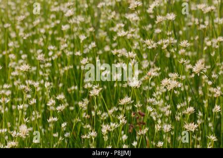 close-up of flowering White Beak-sedge - Stock Photo