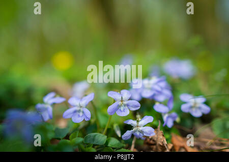 Common Dog Violet - Stock Photo