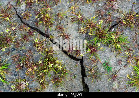 Mousetail plants flowering on cracked earth - Stock Photo