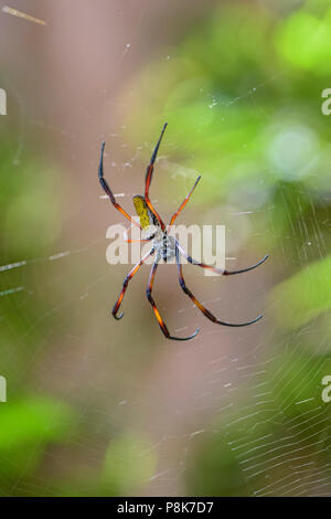 Red-legged Golden Orb-web Spider - Nephila inaurata, beautiful colored large spider from Madagascar forests. - Stock Photo