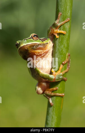 Pretty amphibian green European tree frog, Hyla arborea, sitting on the grass, Spain - Stock Photo