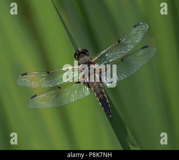 four-spotted chaser dragonfly, Libellula quadrimaculata, resting on leaf over pond, lancashire, UK - Stock Photo