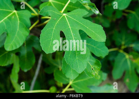 single fig moraceae leaf close up nice green in park outdoor - Stock Photo