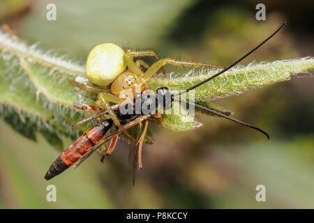 Araniella sp. spider with parasitoid wasp prey on common nettle. Tipperary, Ireland - Stock Photo