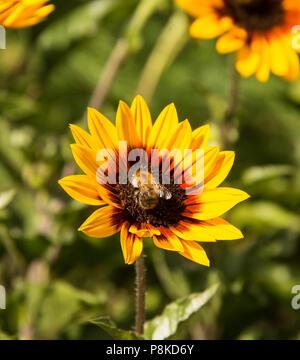 Flower Bee on sunflower - Stock Photo