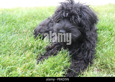 Cute dog lounging outside in the grass. Black poodle/ schnoodle puppy enjoying the wonders of the great outdoors on a warm summer day. - Stock Photo