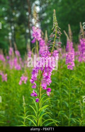 Willow-herb in nature close-up. - Stock Photo