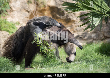A Giant Anteater carries its baby at a zoo in Texas.  Native to Central and South America, Giant Anteaters are vulnerable to extinction in the wild. - Stock Photo