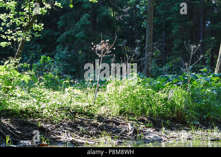 Dry giant hoghweed and new young plants (called Barszcz Sosnkowskiego) on the bank of the river. - Stock Photo