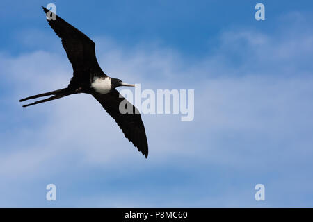 Female flying magnificent frigatebird - Stock Photo