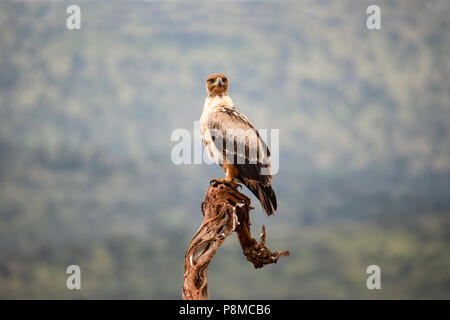 Tawny Eagle Aquila rapax perching on an old tree stump in South Africa - Stock Photo