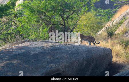 Wild Indian leopard or Panthera pardus fusca walking on the rocks at Bera in Rajasthan in India at aravalli mountains range - Stock Photo