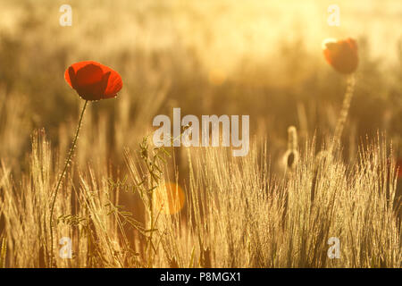poppies in warm morning backlight - Stock Photo