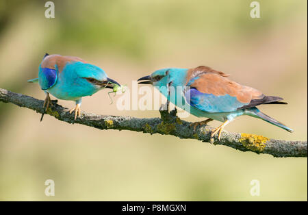 Two European rollers (Coracias garrulus) on a branch sharing a large green grasshopper - Stock Photo