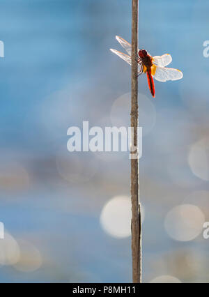Scarlet Darter (Crocothemis erythraea) on reed - Stock Photo