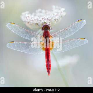 Scarlet darter (Crocothemis erythraea) on flower - Stock Photo