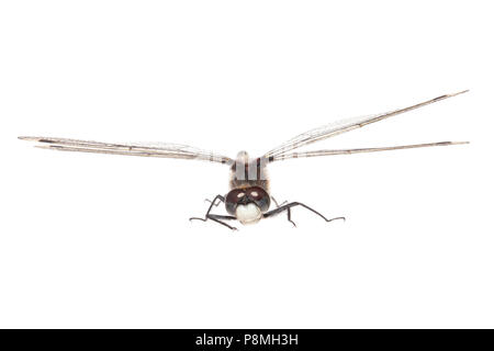 Large white-faced darter isolated against a white background - Stock Photo