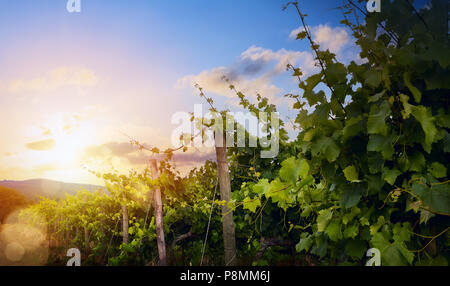 Sunrise over grape Vineyard; summer winery region morning landscape - Stock Photo
