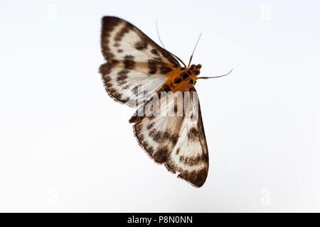 Small Magpie Moth (Eurrhypara hortulata) backlit on white background, Berkshire, England, United Kingdom, Europe - Stock Photo