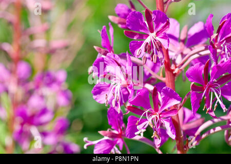 Rosebay Willowherb (chamerion angustifolium or epilobium angustifolium), close up of a group of flowers on the flowering spike. - Stock Photo