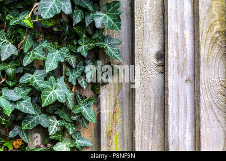 Ivy growing over a wooden fence - Stock Photo