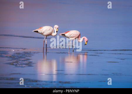 Group of James's Flamingo's (Phoenicoparrus jamesi) standing in half frozen saltlake - Stock Photo