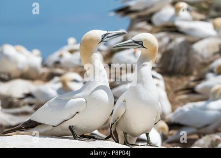 Gannet Colony on Saltee Island at County Wexford - Ireland - Stock Photo