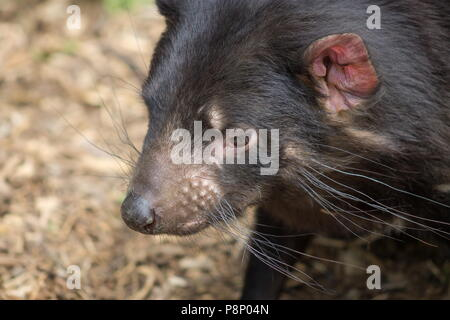 Close up side profile image of a Tasmanian Devil (Sarcophilus harrisii) with copy space - Stock Photo